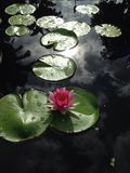 Lily Pad Royalty Free Stock Photo