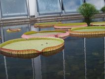 Lily Pad Stock Photography