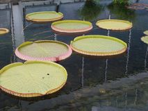 Lily Pad Stock Images