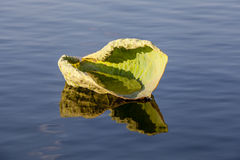 Lily pad floating in water Stock Photos