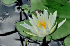 Lily Pad. A lily flower on a lily pad Royalty Free Stock Photo