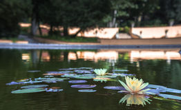 Lily Pad Flower In een Meer Royalty-vrije Stock Foto's