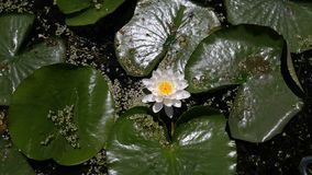 Lily pad Royalty Free Stock Photography