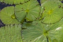 Lily Pad Leaves verde Imagen de archivo libre de regalías