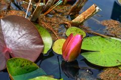 Lily pad. Pink flower bud  in water Royalty Free Stock Photos