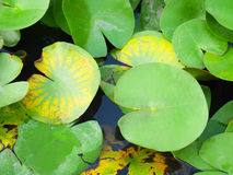 Lily pad Stock Photo