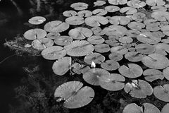 Lily Pad Pond Stock Photography
