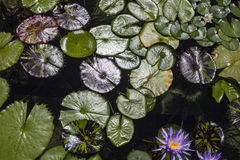 Lily Pad Pond Royalty Free Stock Photos