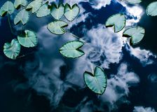 Lily pad royalty free stock image