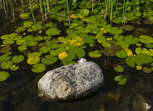 Lily Pad Pond with Rock Royalty Free Stock Photos