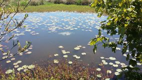 Lily Pad Pond södra Ohio, NS Kanada royaltyfria foton