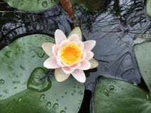 Lily pad pond with white pink and yellow flower Stock Photos