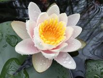 Lily pad pond with white pink and yellow flower Stock Photo