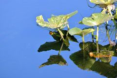 Lily Pad Dying in Pond. A Lily Pad, reflecting on the calm waters of a pond, is in its final life cycle indicated by the brown spots appearing on the leaf stock image