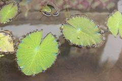 Lily pad. Lily pad on river. Beautiful green lily pad Royalty Free Stock Photography