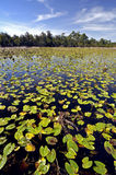 Lily Pad Swamp Royalty Free Stock Photo