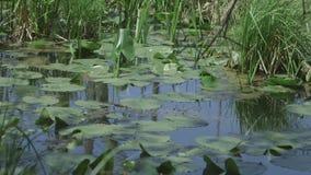 Lily Pad Swamp stock videobeelden