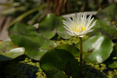Lily pad with white flower. Royalty Free Stock Photo