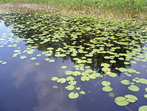 Lily Pads. A lot of lily pads on a lake Stock Photo