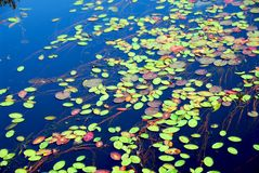 Lily pads Royalty Free Stock Images
