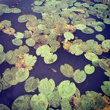 Lily Pads Images stock