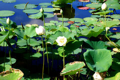 Lily Pads Stock Photography