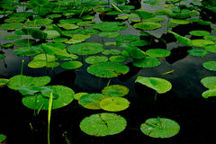 Lily Pads Stock Photos