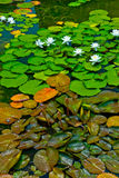 Lily Pads Royalty Free Stock Photos