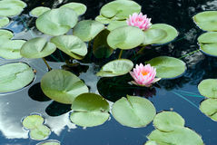 Lily Pads Royalty Free Stock Image