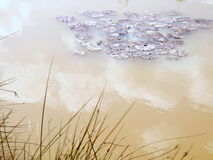 Lily Pads Imagens de Stock Royalty Free