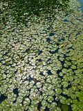 Lily Pads Royalty-vrije Stock Afbeelding