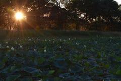 Lily Pads al tramonto fotografie stock