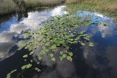 Lily Pads in Everglades National Park. stock image