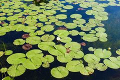 Lily Pads auf See mit Seerosen stockbilder