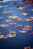 Lily pads background Royalty Free Stock Photography