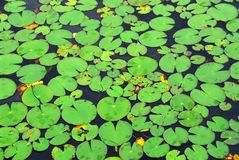 Lily pads background Stock Photos