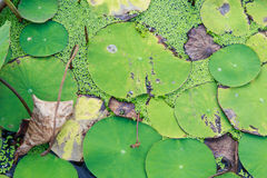 Lily pads background Royalty Free Stock Images