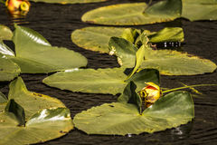 Lily pads in bloom. Flowers were in bloom in the lily pads on a small lake in yellowstone national park. lilly pad flowers only bloom for a few days each year stock photo