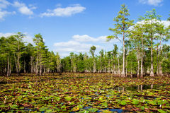 Lily pads and blooming flowers in Florida swamp. Lily pads and blooming flowers in Florida cypress swamp stock photo