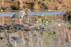 Great Blue Heron mid-stride on the hunt for his next meal. Lily pads and bog surround this water scene as a great blue heron searches for his next meal Stock Image