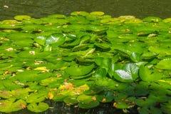 Lily Pads - Botanische Tuin Rio de Janeiro, Brazilië Stock Foto