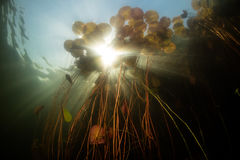 Lily Pads and Bright Sunlight in Lake royalty free stock images
