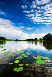 Lily Pads and Clouds Stock Image