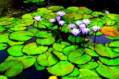 Lily pads. A collection of floating lily pads and flowers Stock Photos