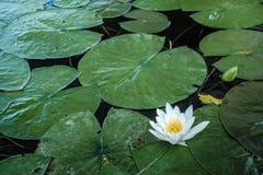 Lily Pads con il singolo fiore fotografia stock