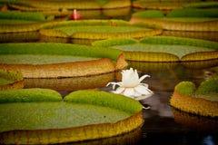 Lily Pads con la ninfea bianca Immagine Stock