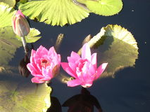 Lily Pads cor-de-rosa na flor Fotos de Stock Royalty Free