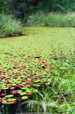 Lily pads almost cover a lake completely Royalty Free Stock Photos