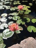 Water Lily. Lily pads cover this nice small pond royalty free stock images