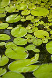 Lily pads. Cover the top of a small pond Royalty Free Stock Photos